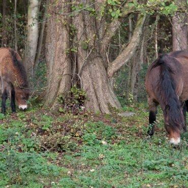 Paarden in het bos Castricum